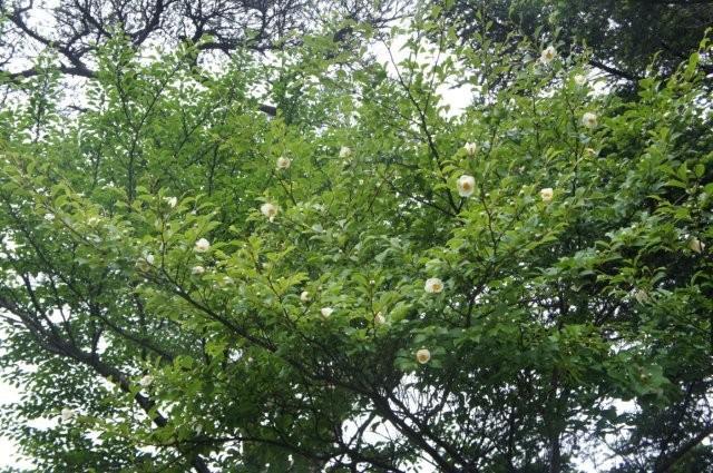 「ナツツバキ」が咲き始めました