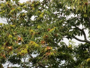 秋の味覚、栗が実りました。