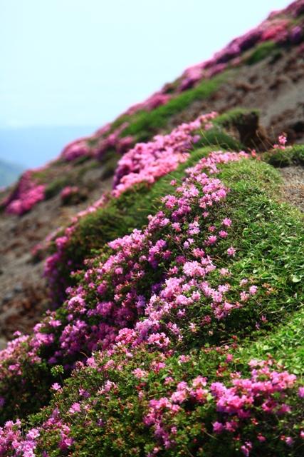 高千穂峰のミヤマキリシマツツジ開花状況2014.6.1その2