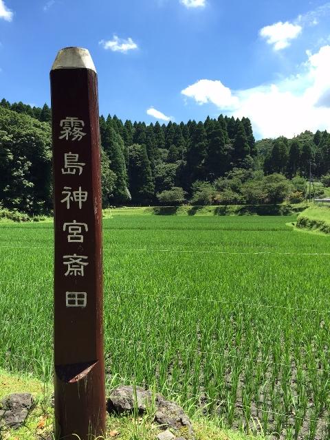 霧島神宮斎田が青々としています!