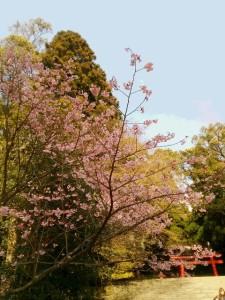 ✿桜開花状況✿
