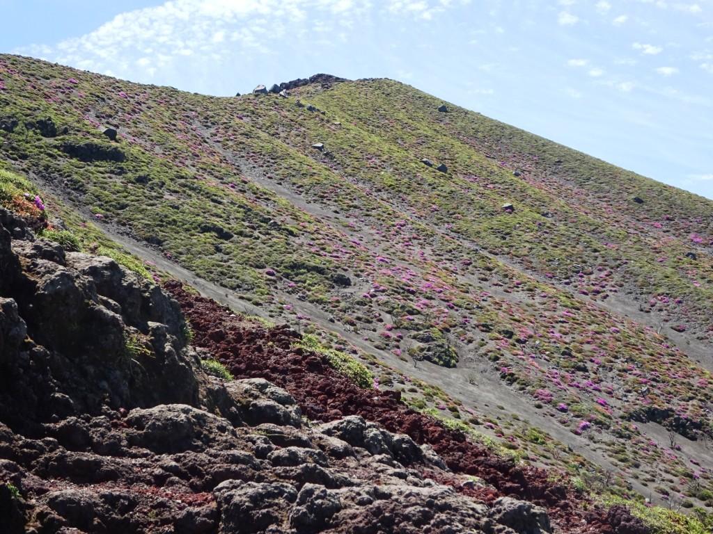ミヤマキリシマの開花状況 5月31日現在