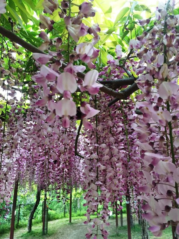 和気公園の藤、まだまだ楽しめます❀