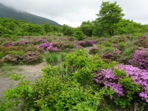 ミヤマキリシマの開花状況 5月20日現在