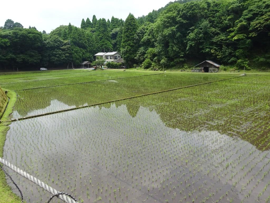 霧島神宮斎田御田植祭に行ってきました!