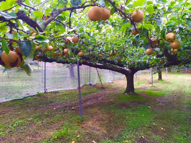 秋の果物狩りの季節です!