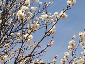 梅の花が見頃です✿