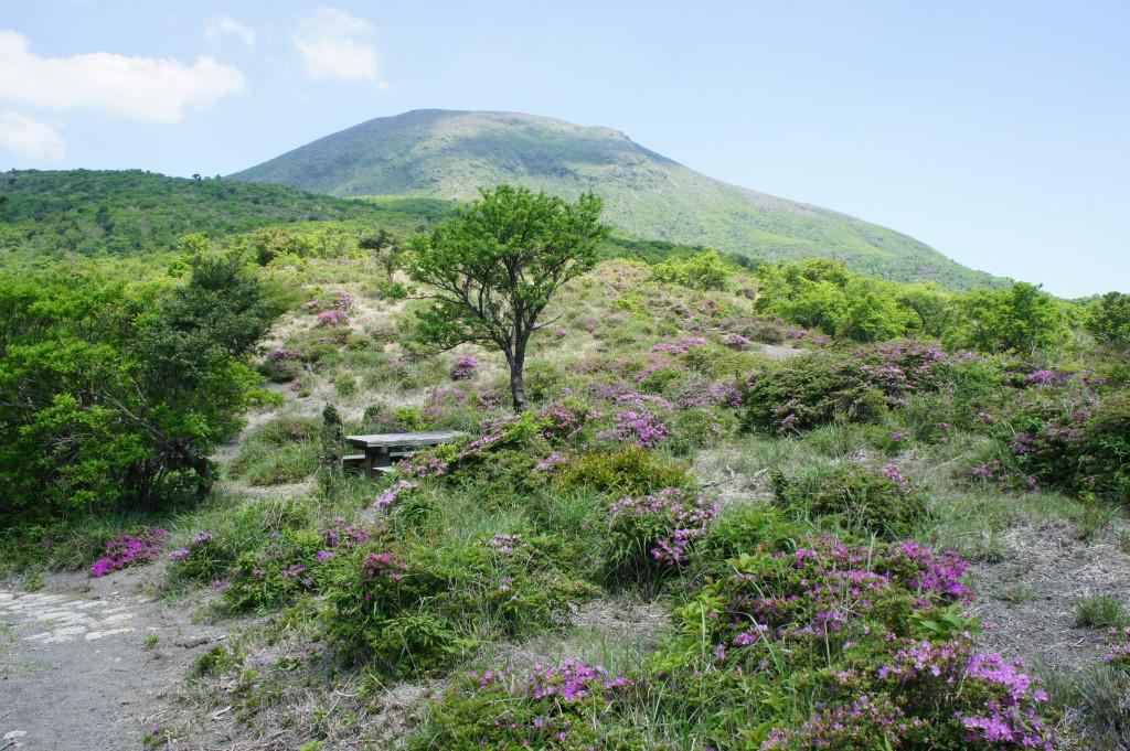 中岳中腹&高千穂の峰 ミヤマキリシマ開花状況(5/18)