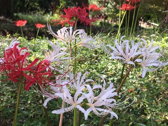 彼岸花 ヒガンバナ