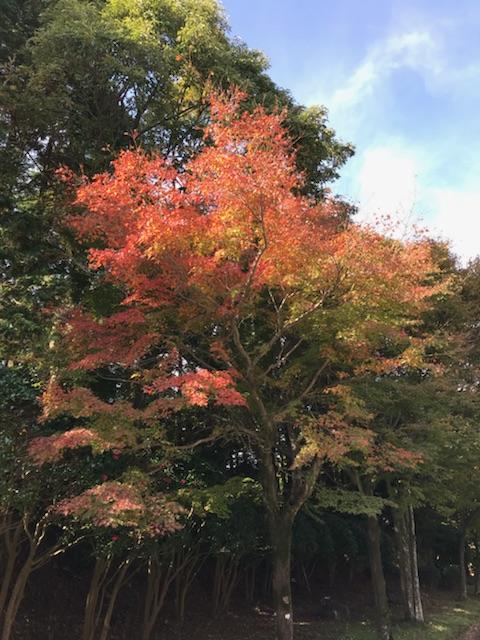 紅葉状況(丸尾から霧島神宮・国道223号線沿い)2017.11.16