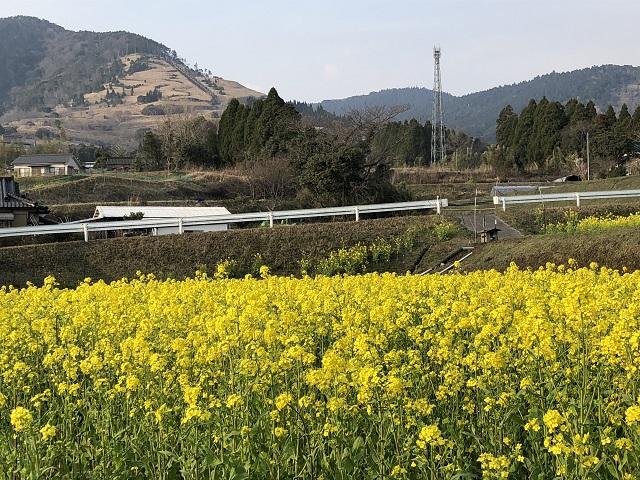 霧島 菜の花の街道