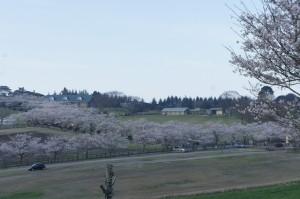 🌸桜:高千穂牧場&神話の里公園