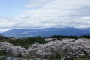 🌸桜:丸岡公園