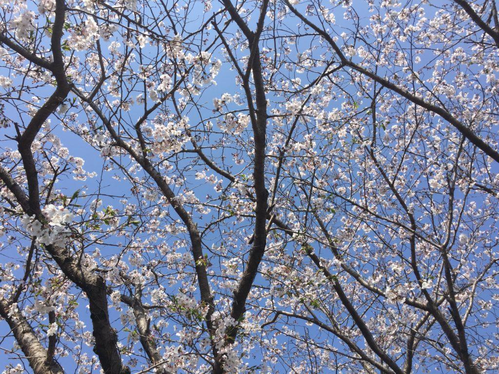 桜が見ごろです♪