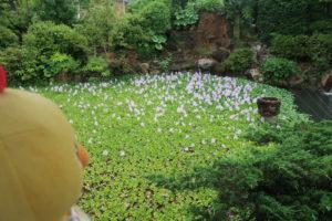 ホテイアオイ咲いていますよ(^^)/