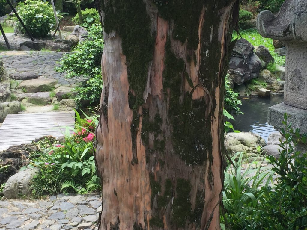 西郷どんとイヌマキの木