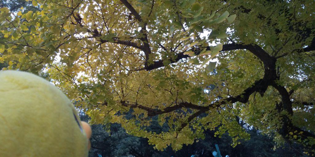 イチョウの木を見に行きました!