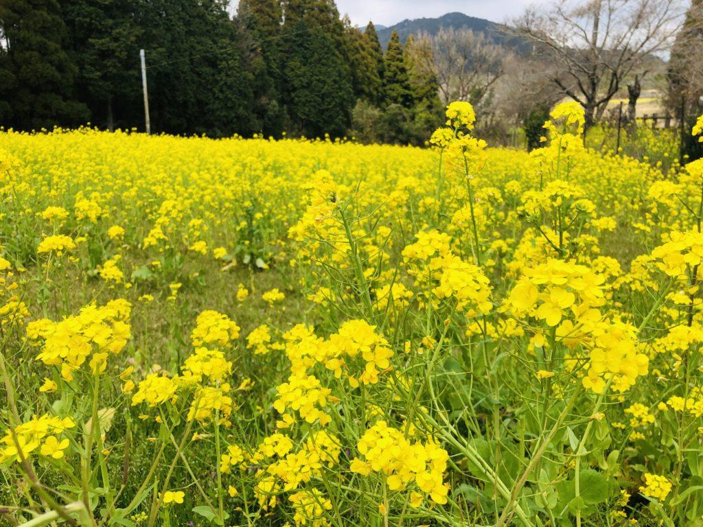 花はきりしま菜の花ロードへ