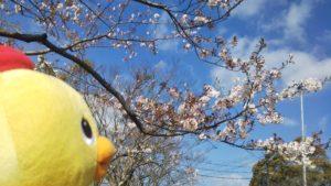 桜が見頃を迎えております🌸