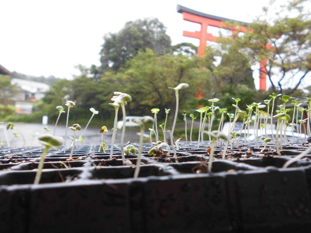 白菜とキャベツの芽がでました!