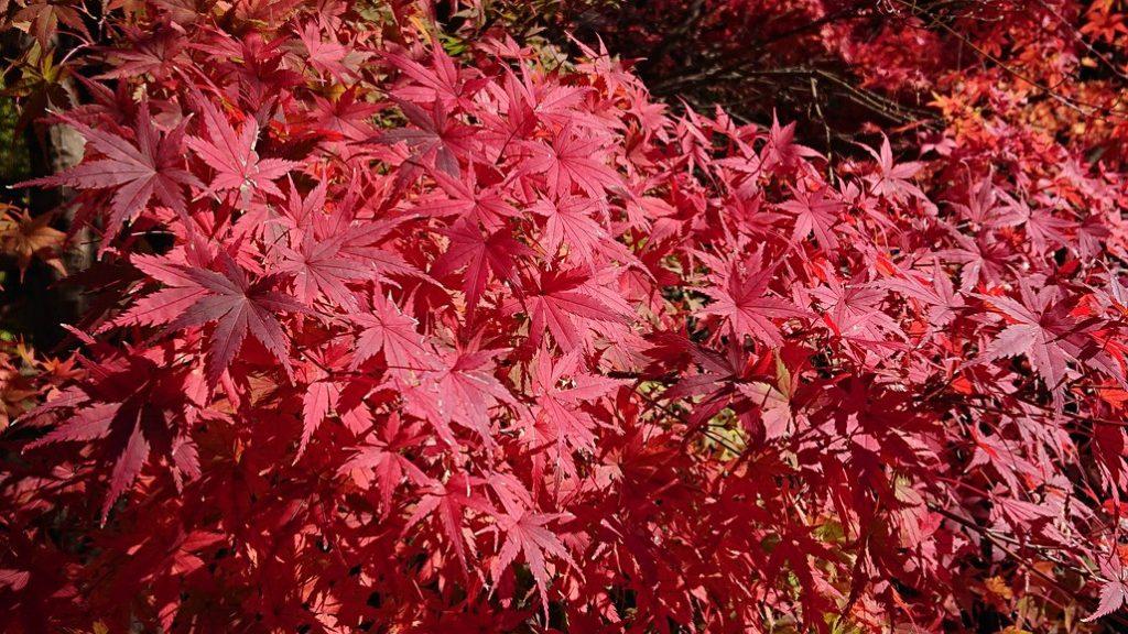 霧島温泉郷の紅葉が色づき始めています🍁