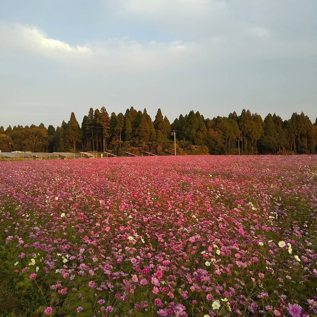 コスモス畑が満開でした(*'ω'*)