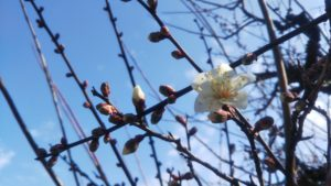 梅の花が開花しました♪