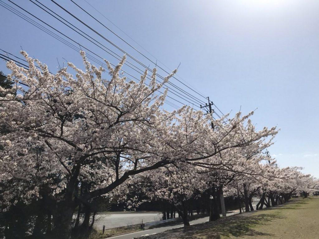 こちらも桜が満開です🌸