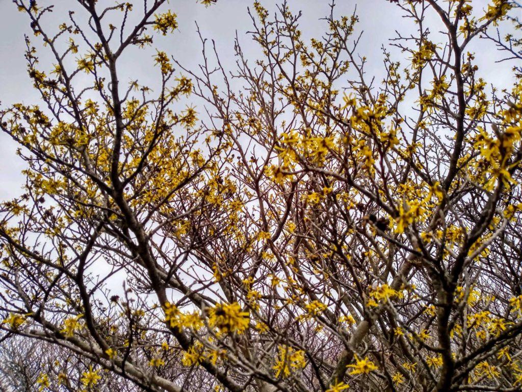 マンサクの花咲いてます