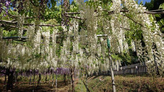 和気公園の藤の花 開花情報⑤