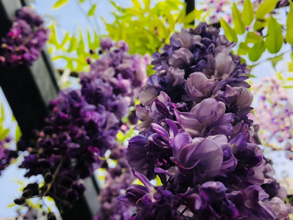 和気公園の藤の花 開花情報④