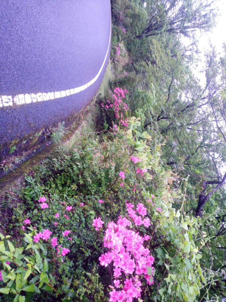 ミヤマキリシマ開花状況について