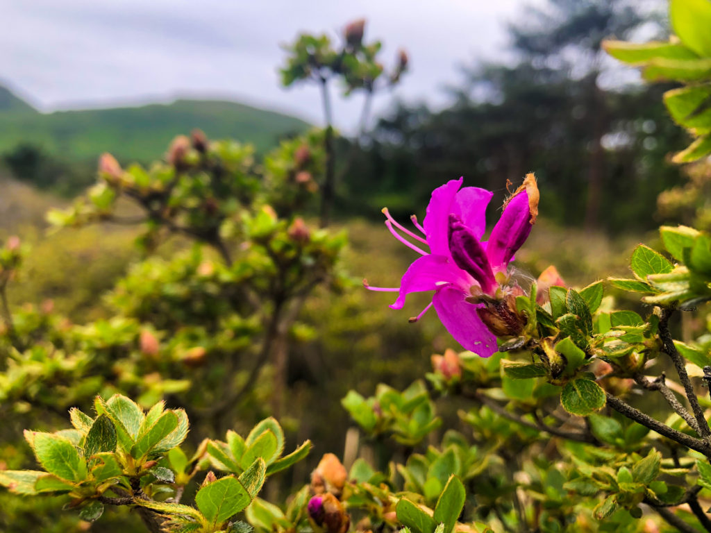 ミヤマキリシマ開花状況(えびの高原)①
