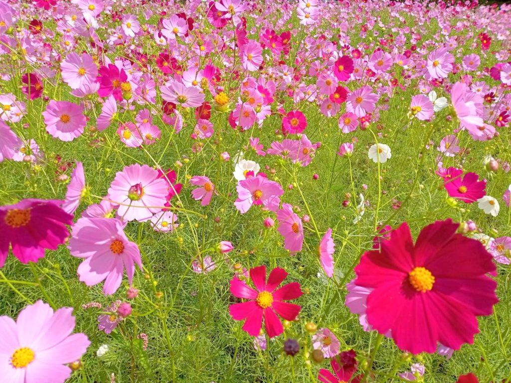 下牧之原地区のコスモスが咲いています(*'ω'*)